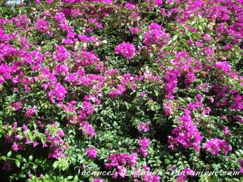 Les bougainvilliers de l'île aux fleurs
